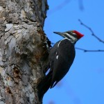 Juvenile Pileated Woodpecker near falls