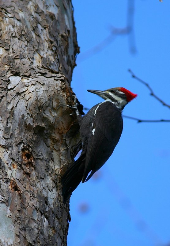 Juvenile Pileated Woodpecker near falls