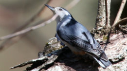 Late spring Nuthatch rooting for grubs featured