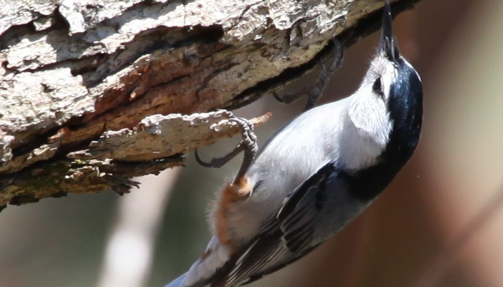 Late spring Nuthatch rooting for grubs