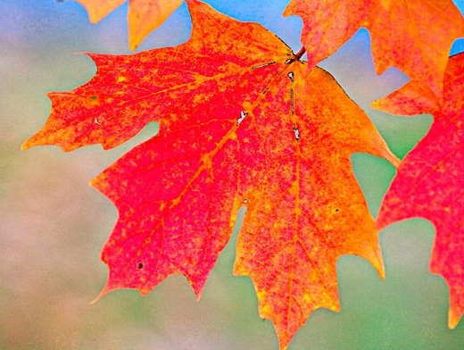 Leaves starting to turn -- Autumn 2008