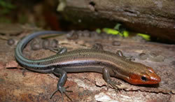 Lizards of the North Fork - Five Lined Skink featured