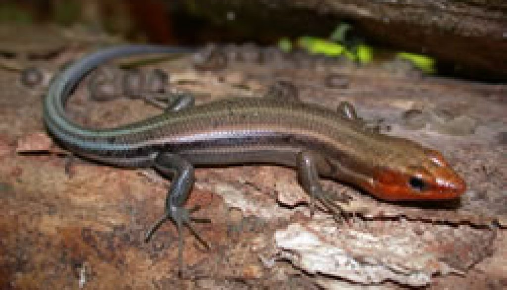 Lizards of the North Fork - Five