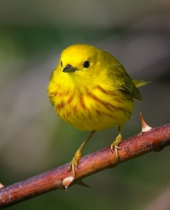 Look for Yellow Warblers