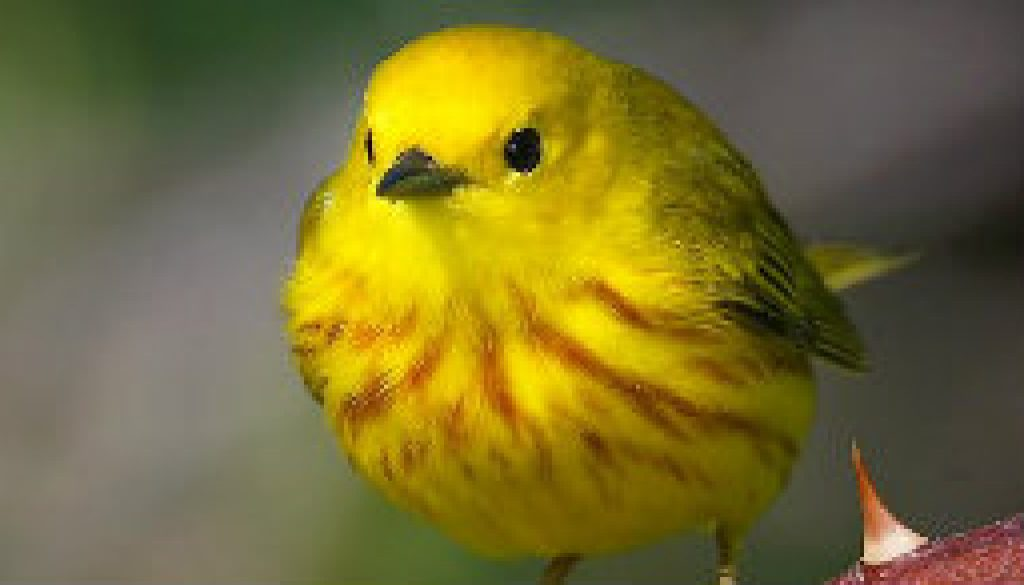 Look for Yellow Warblers featured
