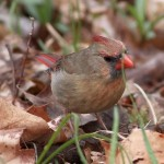 Mating Pair of Northern Cardinals