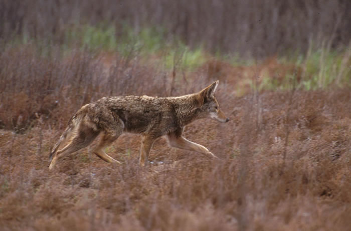 Missouri Coyote