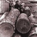 Missouri's Pines - The Shortleaf