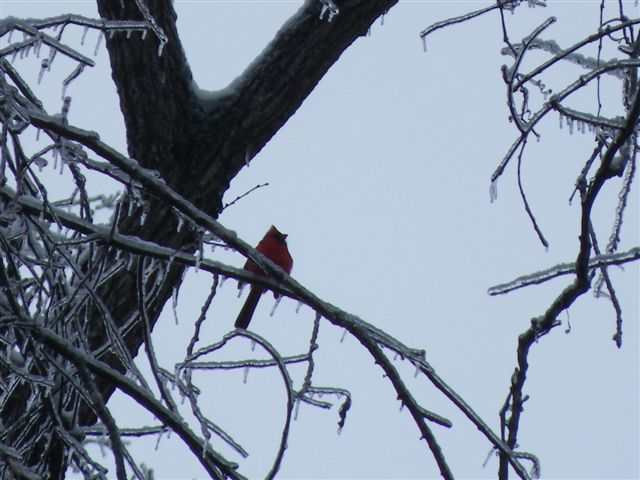 More January Ice Storm photos from Myron