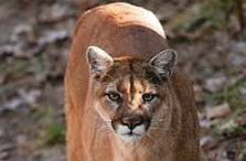 Mountain Lions in Missouri featured