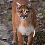 Mountain Lions in Missouri1