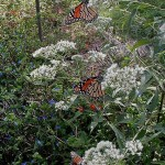 North Fork Butterflies