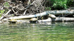 North Fork turtles in June 2007 featured