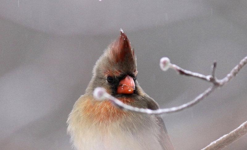 Northern Cardinals begin 2010 mating