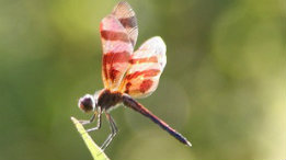 Odoanta (dragon and damsel flies) of the North Fork featured