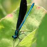 Odoanta (dragon and damsel flies) of the North Fork
