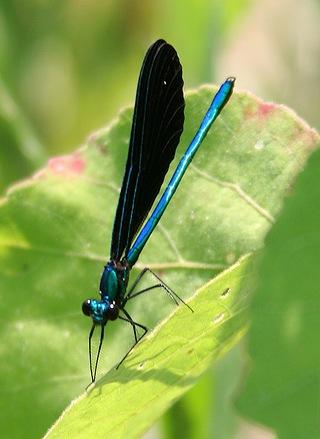 Odoanta (dragon and damsel flies) of the North Fork