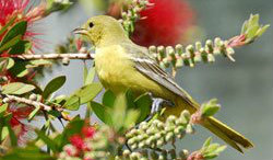 Orchard Oriole featured