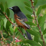 Orchard Oriole1