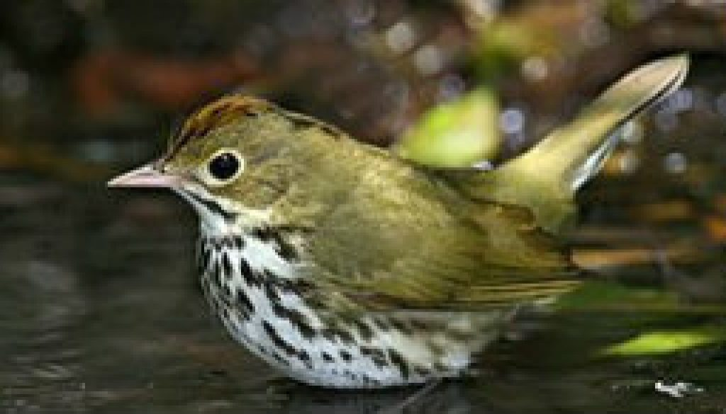 Ovenbird (warbler family) featured