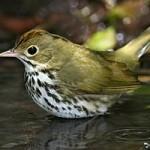 Ovenbird (warbler family)