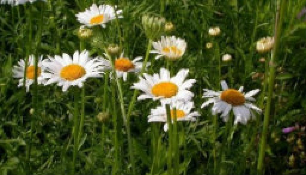 Ox-eye daisy in fields May - June at ROLF featured
