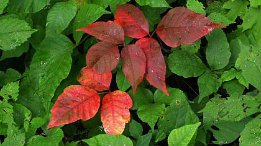 Poison Ivy starting to pick up color and Goldenrod feautired