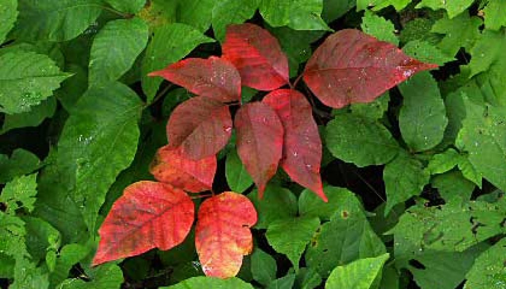 Poison Ivy starting to pick up color and Goldenrod