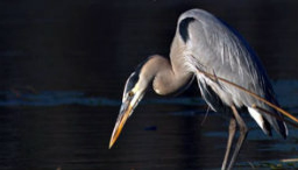 ROLF Herons featured