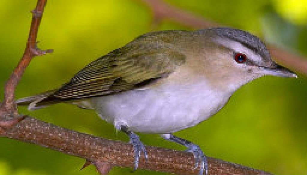 Red Eyed Vireo featured