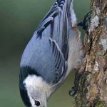 Red and White Breasted Nuthatch1