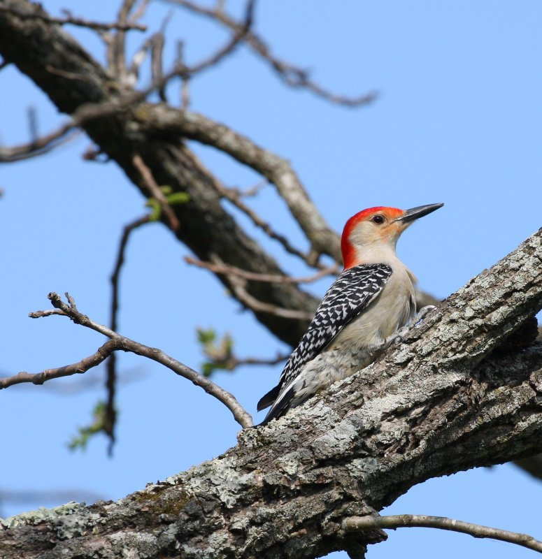 Red-bellied Woodpecker in April at ROLF