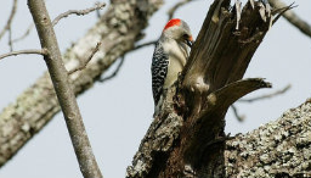 Red-bellied woodpecker longshots featured