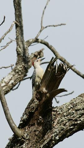 Red-bellied woodpecker longshots