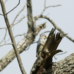 Red-bellied woodpecker longshots