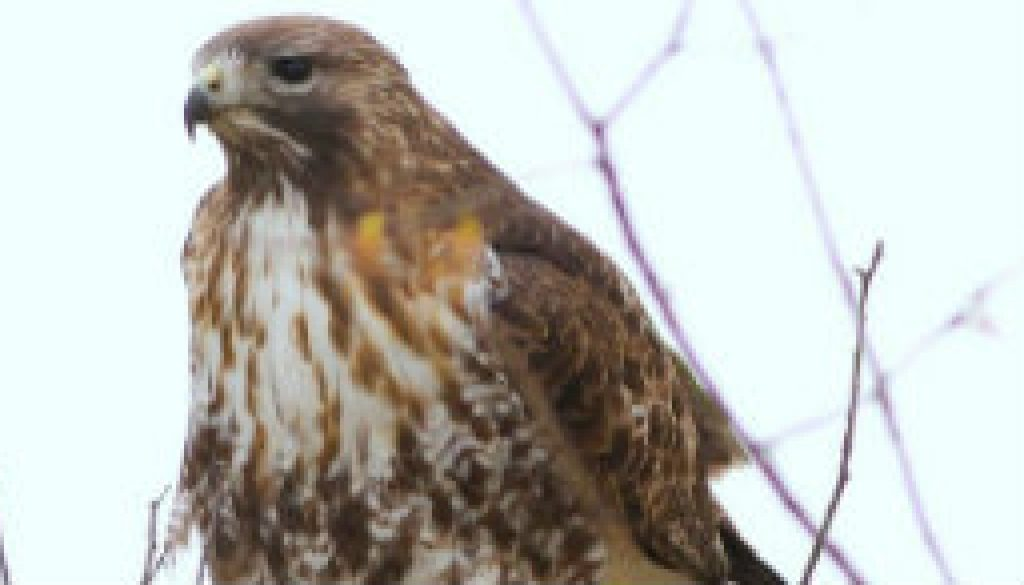Red-tailed Hawk Sequence featured