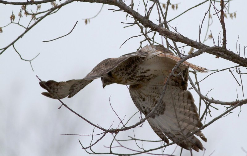 Red-tailed Hawk Sequence
