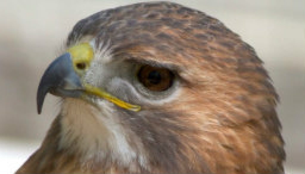 Red-talied Hawk -- Closer pictures featured