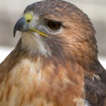 Red-talied Hawk -- Closer pictures