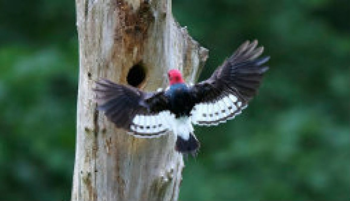 Redheaded Woodpeckers featured