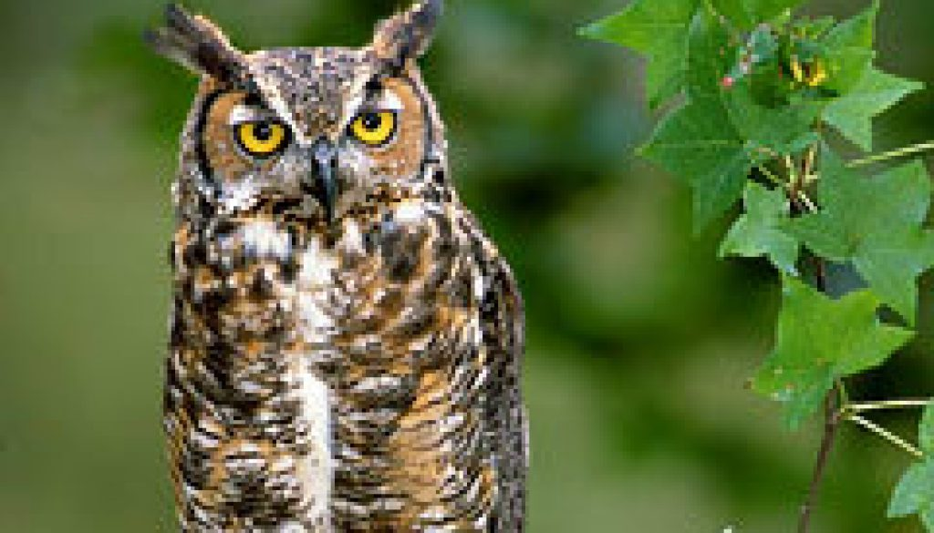 Rolf's common Owls featured