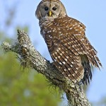 Rolf's common Owls
