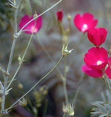 Rose Poppy Mallow