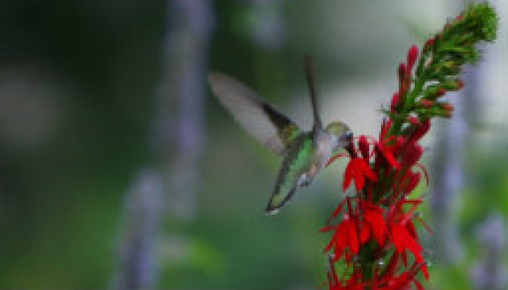 Ruby Throat Hummingbird female on Lobelia featured
