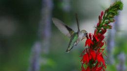 Ruby Throat Hummingbird female on Lobelia featured