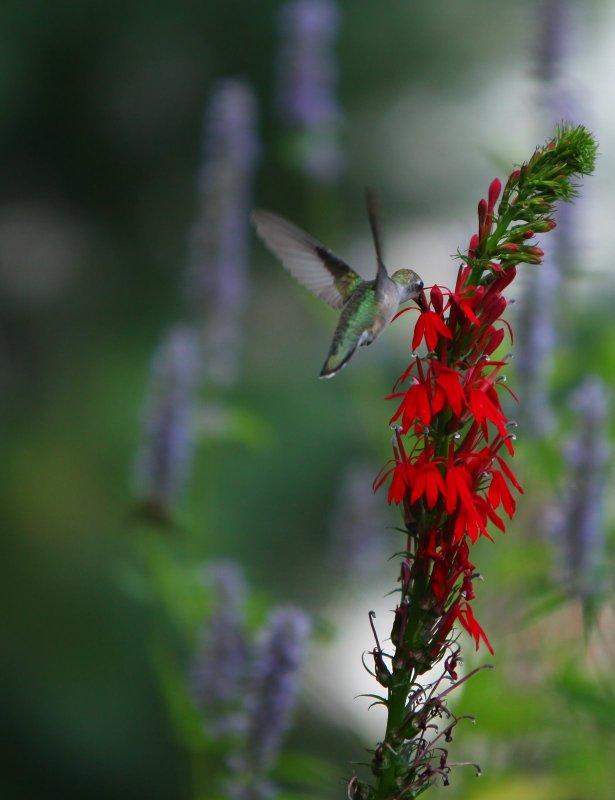 Ruby Throat Hummingbird female on Lobelia