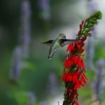 Ruby Throat Hummingbird female on Lobelia