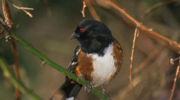 Rufous Sided Towhee featuired