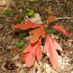 Sassafras is turning colors auf 7 08