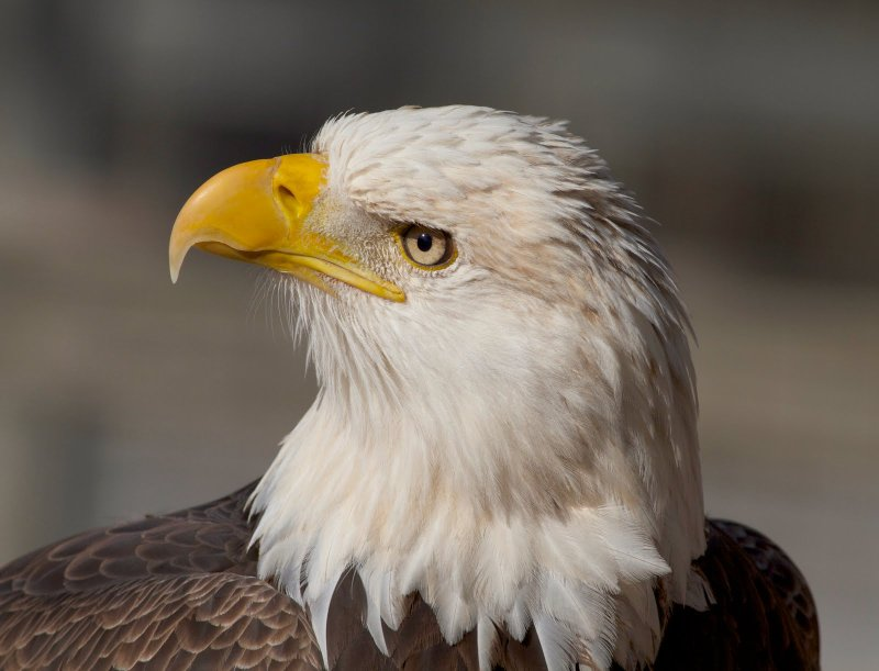 Shots of Bald Eagle (portrait)